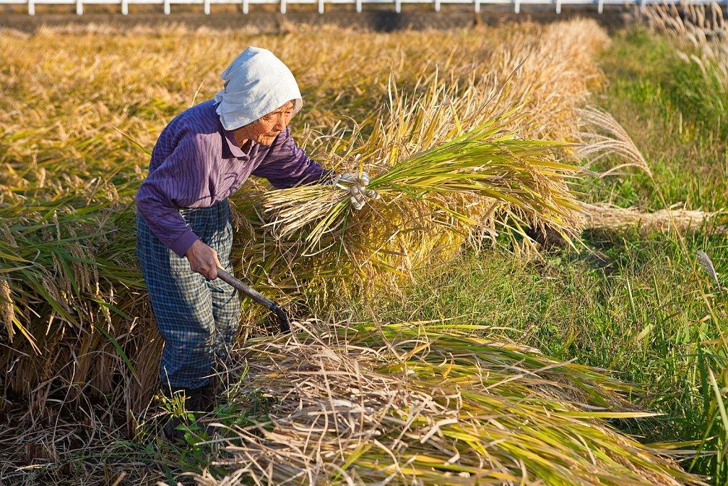 Elderly woman cuts rice stalks at harvest in rural Kumamoto, Kyushu, Japan