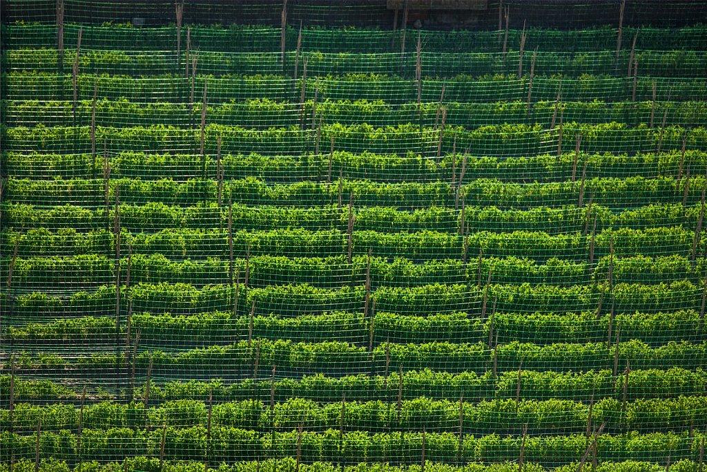 Field of climbing beans in Salobrena, Spain