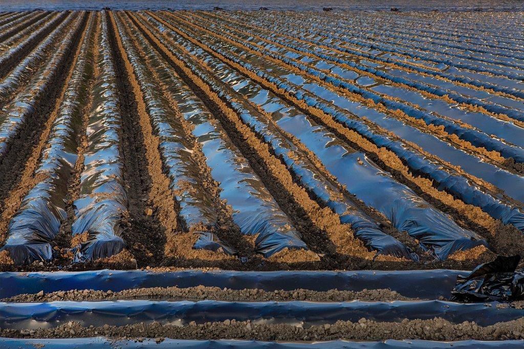 Field of newly planted potatos in Salobrena, Granada, Spain