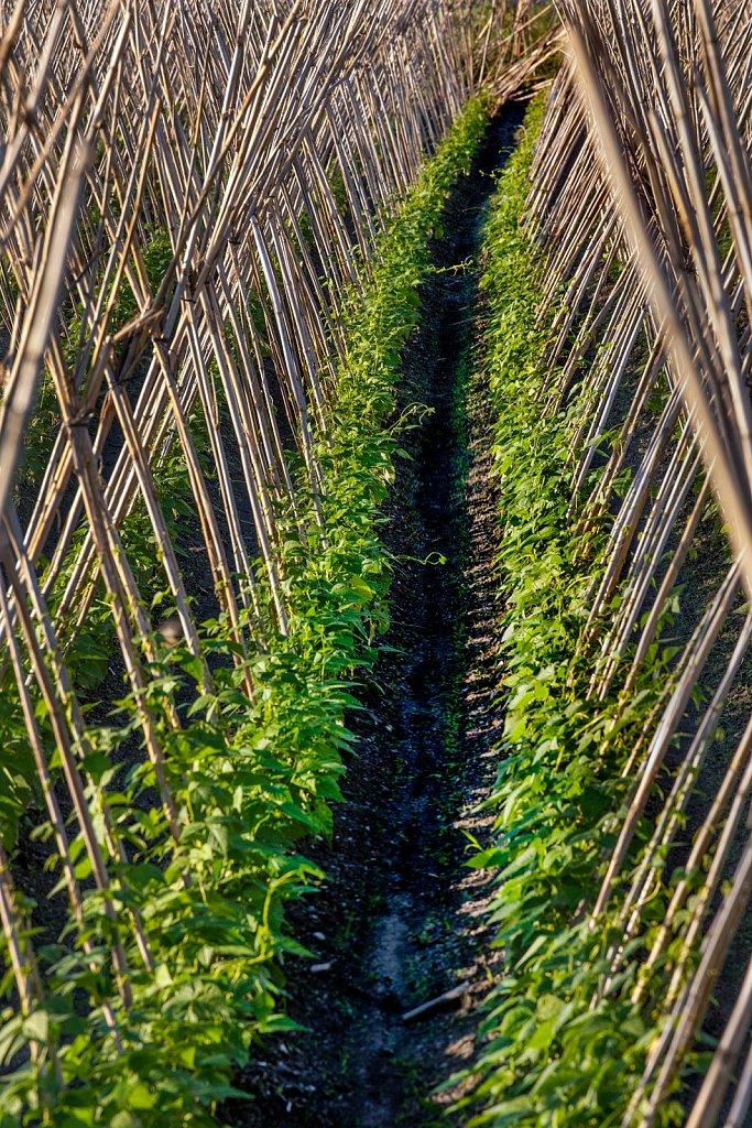 Rows of staked climbing beans, Salobrena, Granada, Spain,