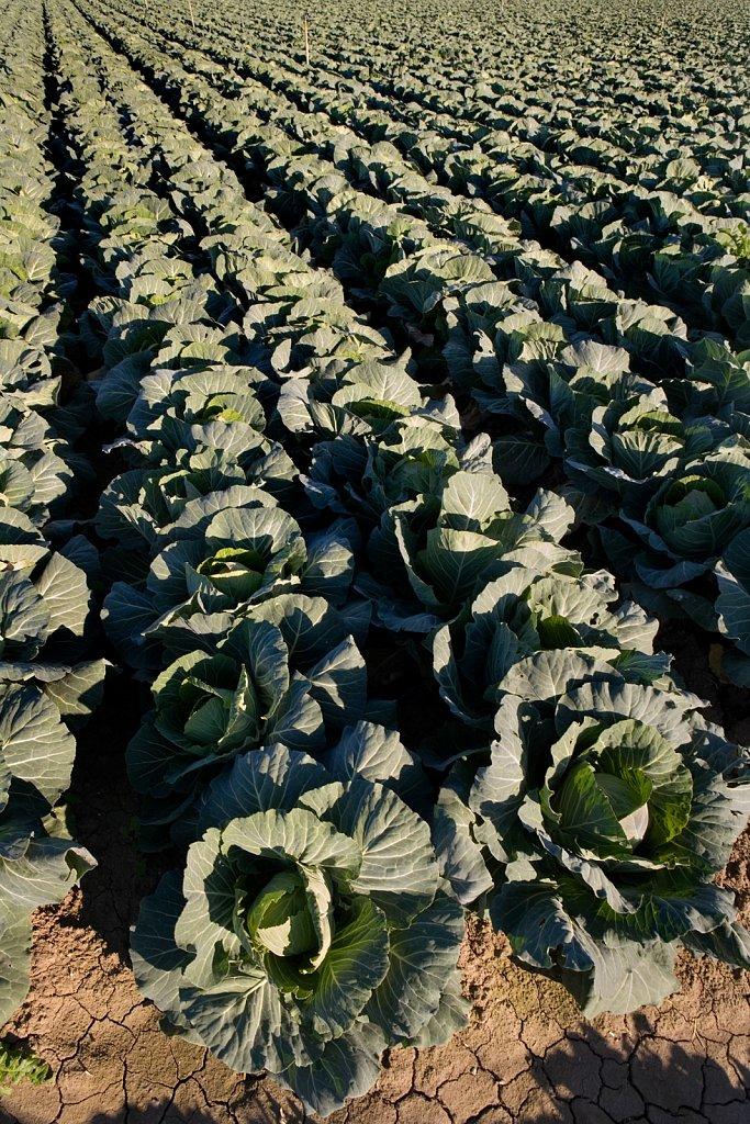 Cabbage field Camarillo, California